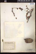 Image of Gleditsia monosperma