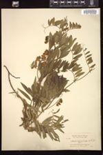 Image of Lathyrus coriaceus
