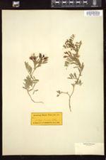 Lathyrus myrtifolius image