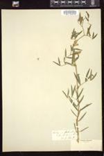 Lathyrus palustris image