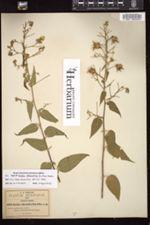 Image of Abutilon attenuatum