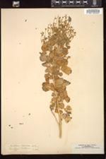 Image of Melilotus speciosus