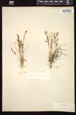 Oxytropis campestris image