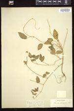 Phaseolus diversifolius image