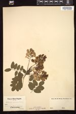 Robinia viscosa image