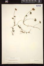 Image of Trifolium amphianthum