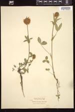 Image of Trifolium arcuatum