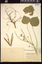 Image of Vigna sinensis