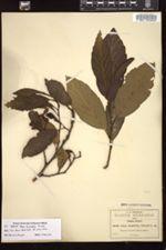 Image of Alnus firmifolia