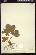 Fragaria canadensis image