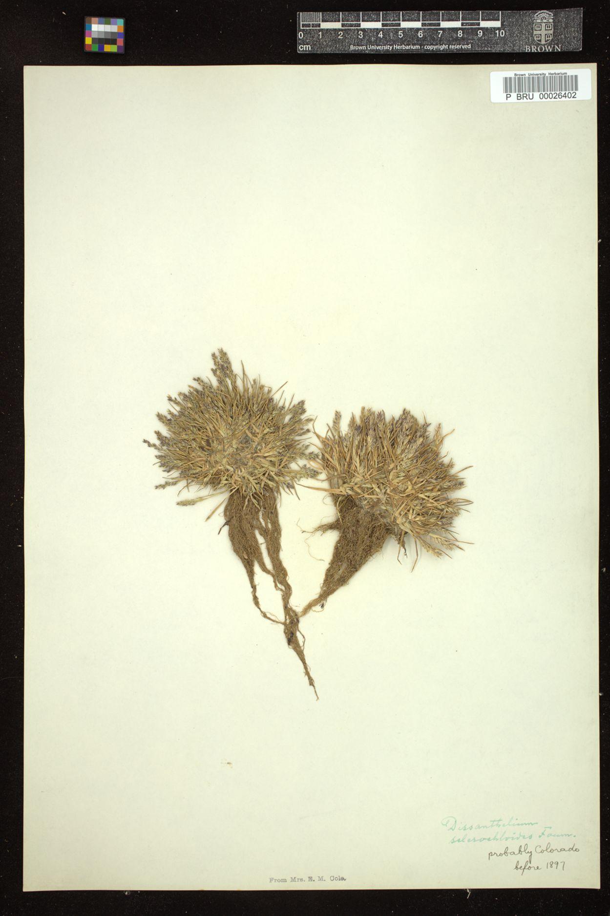 Dissanthelium calycinum subsp. mathewsii image