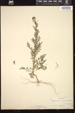 Image of Sisymbrium canescens