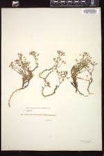 Image of Minuartia pungens