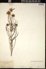 Image of Helianthus orgyalis