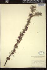 Image of Larix americana