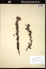 Image of Pedicularis ctenophora