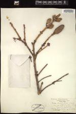 Image of Picea brachytyla