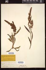 Rumex salicifolius image