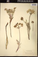 Image of Peucedanum macrocarpum