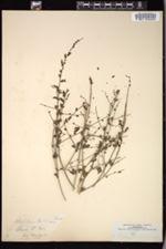 Sairocarpus coulterianus image