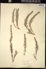 Image of Artemisia rigida