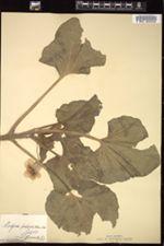 Image of Martynia proboscidea