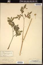Image of Angelica hirsuta