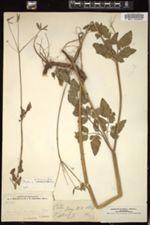 Image of Osmorhiza ambigua