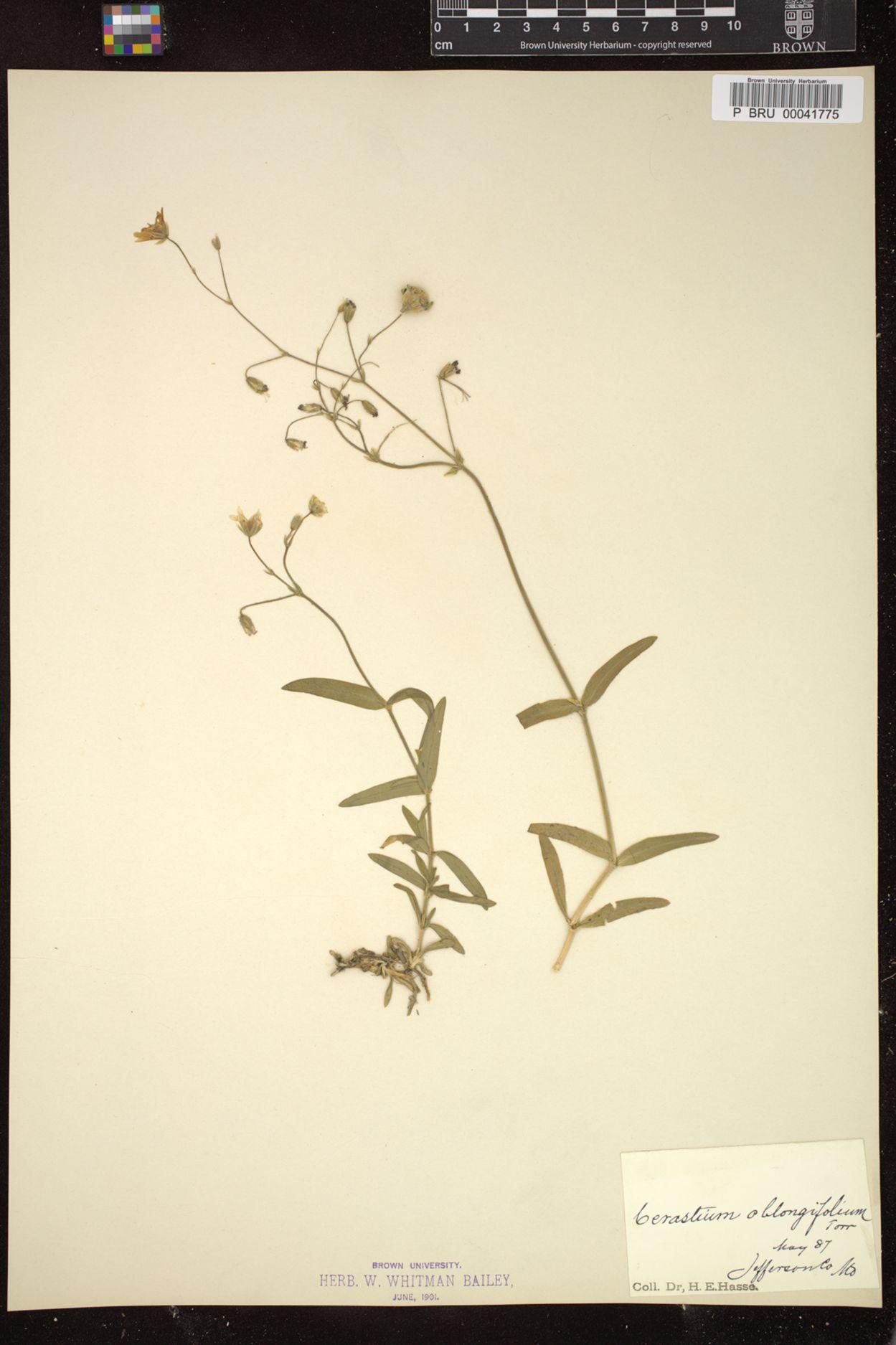 Cerastium oblongifolium image