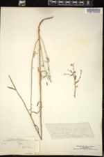 Erigeron foliosus image