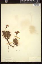 Primula suffrutescens image