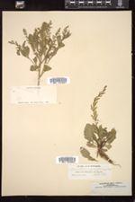 Image of Nasturtium sessiliflorum