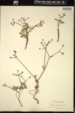 Image of Sanicula nevadensis