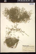 Eremogone ursina image
