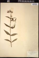 Image of Stachys ambigua