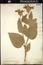 Image of Agnorhiza ovata