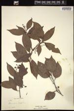 Image of Acrodiclidium jamaicense