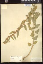 Image of Sphaeralcea miniata