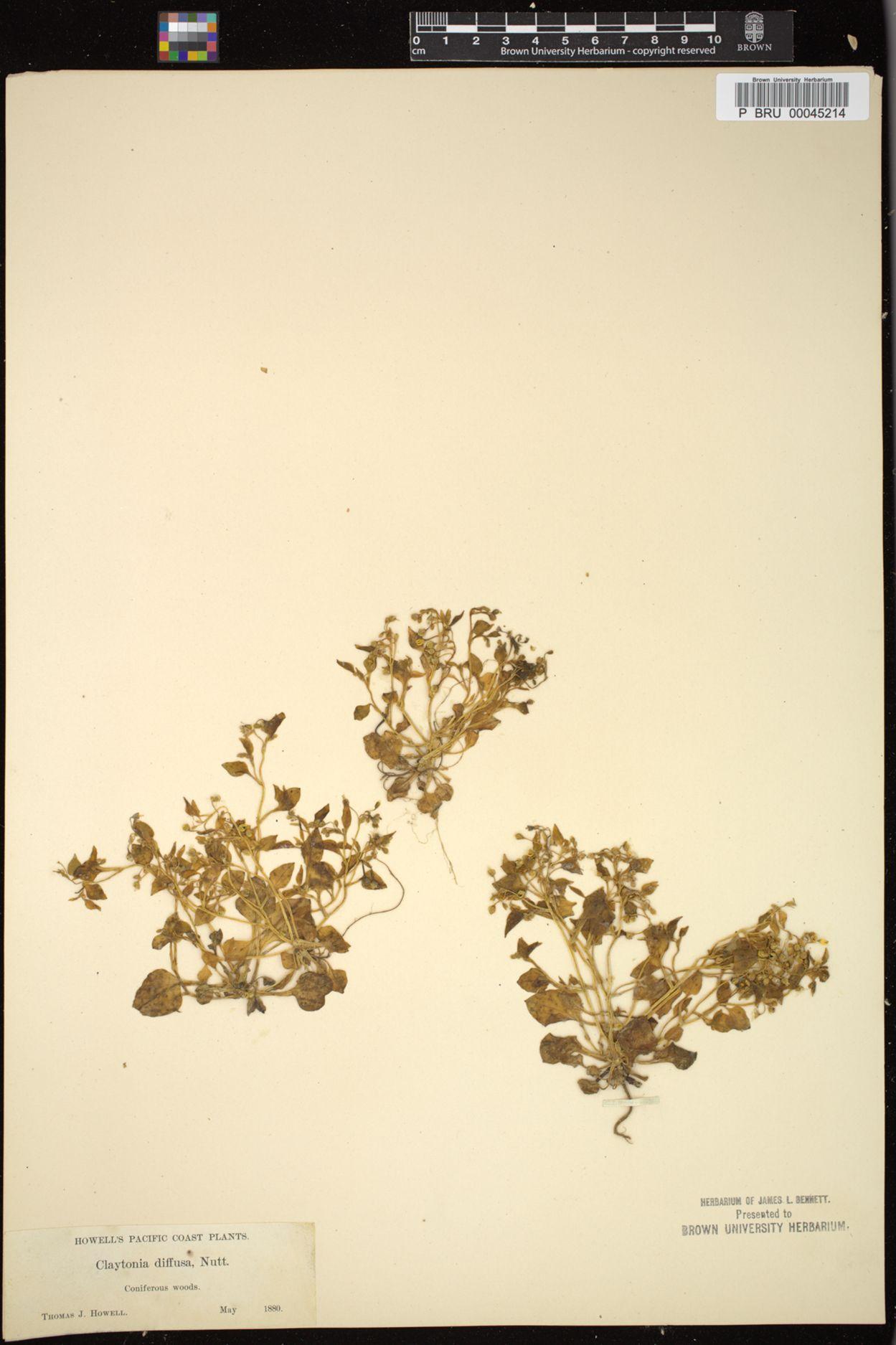 Claytonia diffusa image