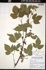 Image of Rubus acridens