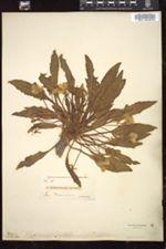 Camissonia ovata image