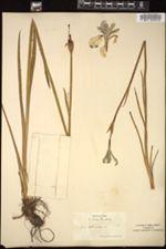 Iris sibirica image