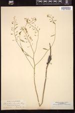 Image of Nasturtium lacustre