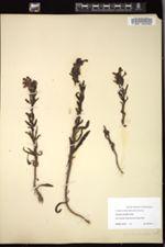 Pedicularis ctenophora image