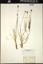 Image of Carex alpina