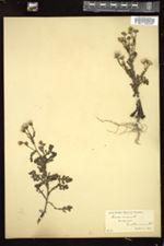 Senecio viscosus image