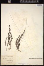 Image of Gratiola subulata