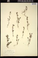 Image of Erythranthe pulsiferae