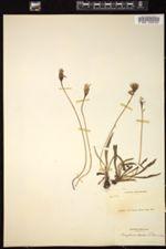 Image of Microseris borealis