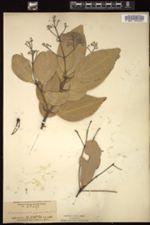 Image of Cinnamomum verum